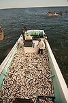 Pound netting on the Western and Eastern shores of Chesapeake Bay with Boo Powley, his son, Aaron, Jimmy Simmons, DJ Simmons and Boo's dog, Buck.   The fish were off loaded at Terrapin Fish Co.