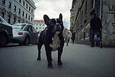 French bulldog in Marticeva Street near Exchange Square.