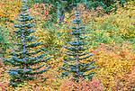 Noble fir and mountain ash, Mount Rainier National Park, Washington