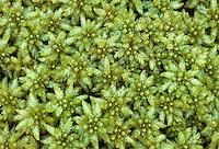 Veenmos (Sphagnum papillosum)