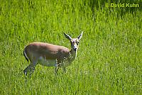 1222-1007  Goitered Gazelle (Black-tailed or Persian gazelle) in Grassland Alerted, Gazella subgutturosa  © David Kuhn/Dwight Kuhn Photography