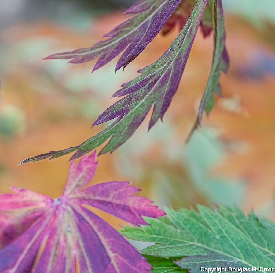 Lacey Maple Leaves in fall color adorn the Portland, Oregon, Japanese Garden.  The Japanese Garden in Portland is a 5.5 acre respit.  Said to be one of the most authentic Japanese Garden's outside of Japan, the rolling terrain and water features symbolize both peace and strength.