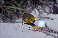Laysan Finch-male-eating seabird egg on Laysan I. Endangered Species
