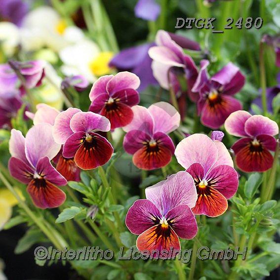 Gisela, FLOWERS, BLUMEN, FLORES, photos+++++,DTGK2480,#f#, EVERYDAY