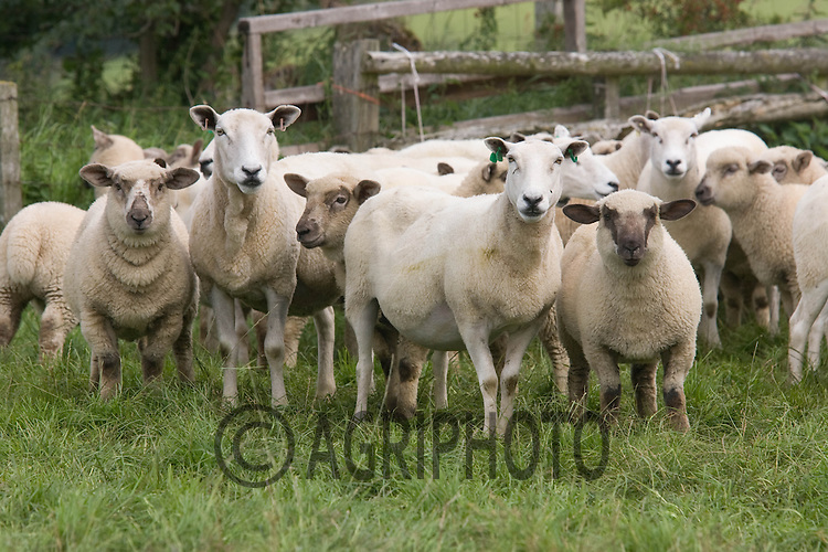 Ewe's with Lambs at foot