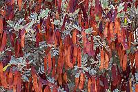 Senna artemisioides ssp. helmsii,  Feathery Cassia red autumn seedpods with gray foliage in Fullerton Arboretum