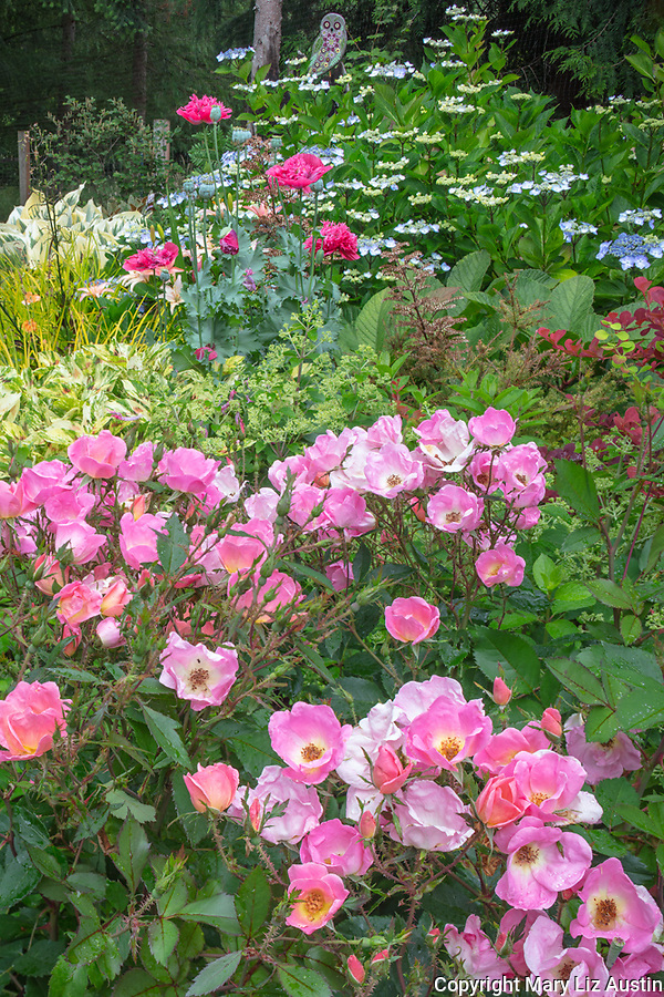 Vashon-Maury Island, WA: Summer perennial garden featuring  Rose 'Radcor', lace-cap hydrangea, poppies and persicaria.