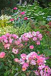 Vashon-Maury Island, WA: Summer perennial garden featuring  Rose 'Radcor', lace-cap hydrangea, poppies and persicaria.