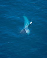 blue whale, Balaenoptera musculus, feeding on krills, endangered species, Channel Islands National Marine Sanctuary, California, USA, Pacific Ocean (sequence 3 of 6)