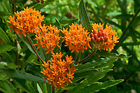 Close-up of umbels of blooming Butterfly Weed (Ascelpias tuberosa). In the Milkweed Family, but lacking milky sap. Host plant for Monarch butterfly. Common name comes from the brilliantly colored flowers, which attract many species of butterflies. Native to North America. Also called Pleurisy-Root. Blooms from early summer to early fall.