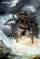 SI12-002z  Jumping Spider - protecting egg case - Sitticus palustris