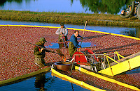 Cranberry Bogs, Cranberry Harvest, Southern New Jersey agriculture, harvesting. New Jersey USA Farm.