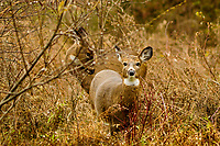 Two Whitetail Deer In A Meadow In Autumn, Five Rivers Environmental Center, Delmar, New York