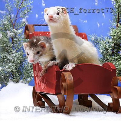 Xavier, CHRISTMAS ANIMALS, photos(SPCHferret73,#XA#)