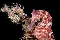 a pair of Lined seahorses, (Hippocampus erectus, Blue Heron Bridge, Lake Worth Lagoon, Riviera Beach, Florida, U Atlantic Ocean