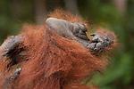 Bornean Orangutan (Pongo pygmaeus wurmbii) - hand and foot