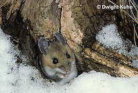 MU12-006z   Deer Mouse - at entrance to winter nest - Peromyscus maniculatus