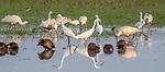 Central Africa , African spoonbill (Platalea alba) , white-faced whistling duck (Dendrocygna viduata) , great egret (Ardea alba) , Black-winged stilt (Himantopus himantopus himantopus)