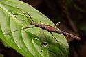 Stick Insect {Phasmatodea} on rainforest understory vegetation at night. Osa Peninsula, Costa Rica. May.