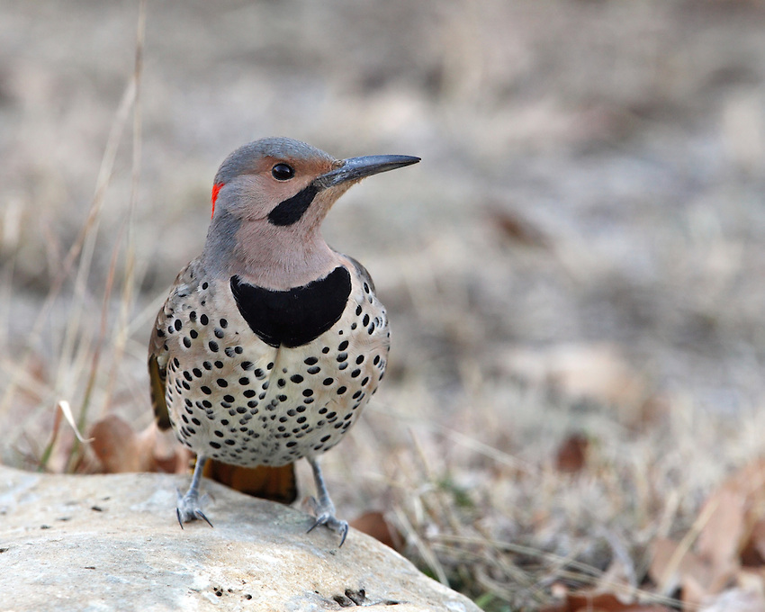 Northern Flickers spend lots of time on the ground, and when in trees they're often perched upright on horizontal branches instead of leaning against their tails on a trunk. They fly in an up-and-down path using heavy flaps interspersed with glides, like many woodpeckers.