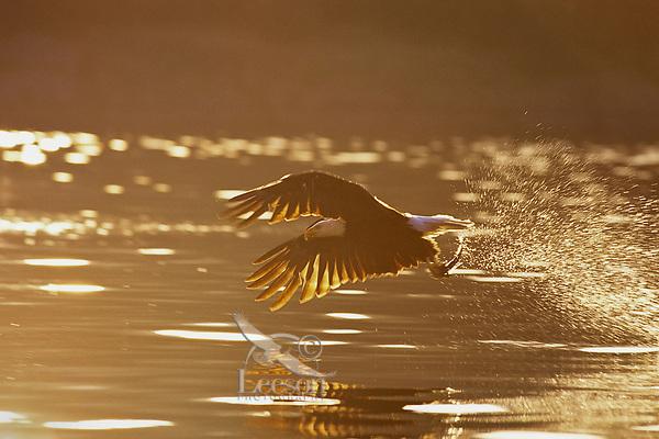 Bald Eagle catching fish at sunrise.  Pacifc Northwest.
