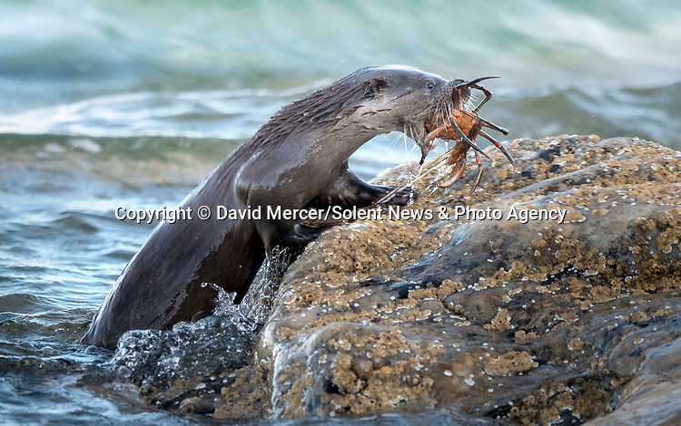 "OTTER MOUTHFUL..... An otter appears to have bitten off more than he can chew, as it swims to shore near Rothesay, on the Isle of Bute, Scotland, with it's mouth full with a large crab.<br /> <br /> Local David Mercer, 59, a Gas Service Engineer said ""This young otter was showing off its skills in catching crabs the correct way. I saw this otter make multiple catches""<br /> <br /> ""The otters bring the crab ashore and then proceed to lift the top shell off the crab, discard it, and then starts to feed on the contents.""<br /> <br /> ""I spent a couple of hours observing the otters in their habitat and this one would usually clean up around him, leaving just inedible parts like legs and claws, then slide into the water for its next meal.""<br /> <br /> ""The images show wildlife in it's true form, to survive in the wild you must eat and not be eaten.""<br /> <br /> Please byline: David Mercer/Solent News<br /> <br /> © David Mercer/Solent News & Photo Agency<br /> UK +44 (0) 2380 458800"