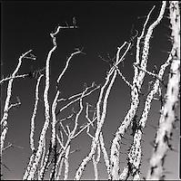 Ocotillo branches<br />