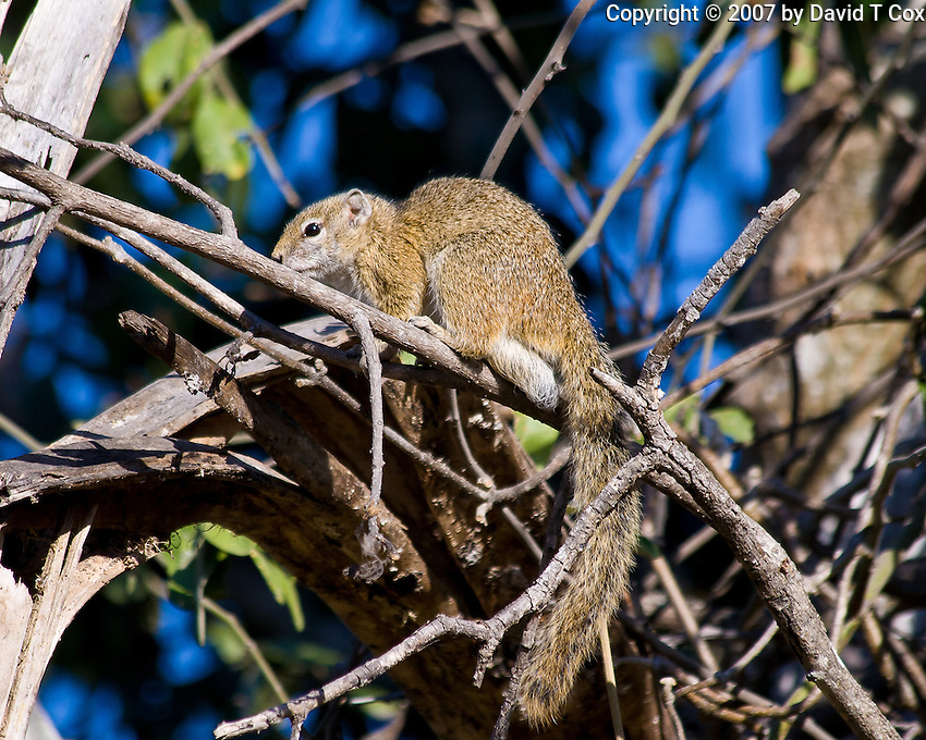 Tree Squirrel, Shire River, Liwonde NP, Malawi