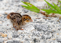 Bobwhite Quail Chick on gravel road