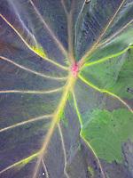 A close-up view of an uahi-a-pele (native Hawaiian variety of kalo or taro) leaf, Big Island.