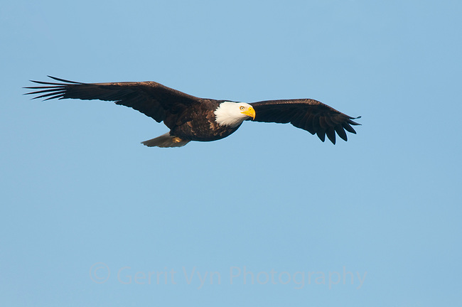Adult Bald Eagle (Haliaeetus leucocephalus) in flight. Whatcom County, Washington. March.