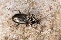 Hair-trap Ground Beetle {Loricera pilicornis} Peak District National Park, Derbyshire, UK. April.