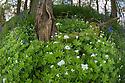 Sweet Woodruff (Galium odoratum) growing in deciduous woodland. Peak District National Park, Derbyshire, UK. May.