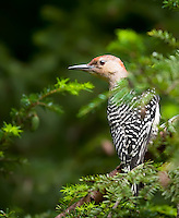 Red-Bellied Woodpecker in hemlock tree