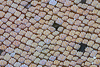 extreme close-up of dermal denticles or placoid scales on skin on body of nurse shark, Ginglymostoma cirratum, Ambergris Caye, Belize, Central America (Caribbean Sea)