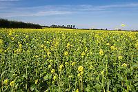 Biofumigant mustard crop in flower, grown to reduce potato cyst nematode (PCN) - September; Lincolnshire