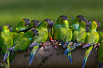 Nanday parakeets, Pantanal, Brazil<br /> <br /> RF licensing from Getty Images: https://www.gettyimages.com/detail/photo/nanday-parakeets-perched-in-a-row-in-the-forests-of-royalty-free-image/163243542?adppopup=true