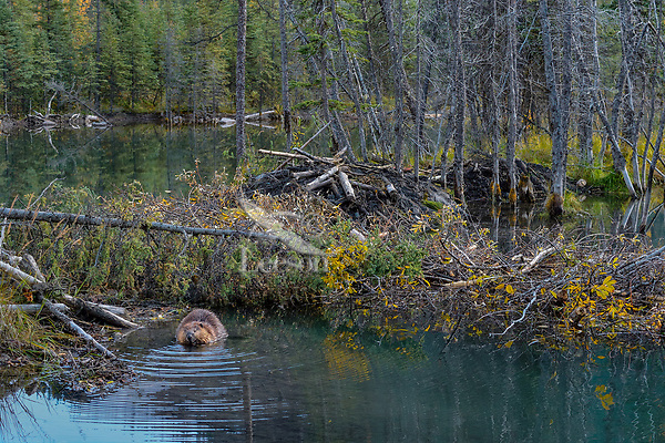 North American Beaver (Castor canadensis) feeding near winter food supply and lodge.  British Columbia, Canada.  Fall.  In fall northern beaver haul in many trees and branches for a winter food supply--much of it is underwater an is accessible even if the pond freezes over.