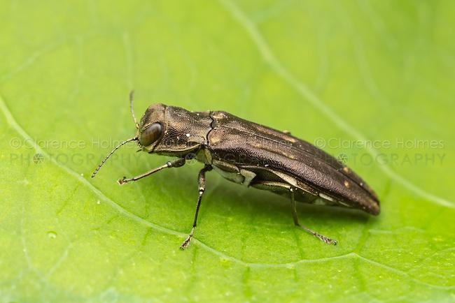 Metallic Wood-boring Beetle (Agrilus obsoletoguttatus) on an Oriental Bittersweet (Celastrus orbiculatus) leaf.