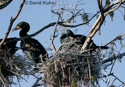 0111-0974  Double-crested Cormorant Sitting on Nest, Phalacrocorax auritus  © David Kuhn/Dwight Kuhn Photography