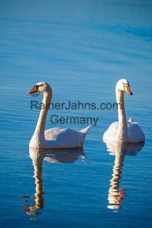 Deutschland, Bayern, Chiemgau, Chieming am Chiemsee: Schwanen-Paar auf dem Chiemsee   Germany, Bavaria, Chiemgau, Chieming at Lake Chiemsee: brace of swans on lake Chiemsee