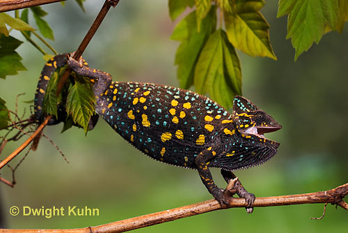 CH39-501z  Female Veiled Chameleon in display colors, Chamaeleo calyptratus