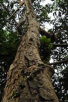 Árvore da Andiroba.<br /> Museu Goeldi.<br /> <br /> A andiroba (Carapa guianensis, também chamada de Karaba ou Crabwood) é uma árvore alta, frondosa, bonita, de folhas alongadas, com pequeninas flores brancas. É característica da região amazônica e dos solos úmidos de toda a região em especial no Amapá, Acre e Pará. Seu tronco pode chegar a 1,20 m de diâmetro e a sua madeira é uma das melhores para todo o tipo de construção, inclusive naval, por uma razão curiosa: a andiroba é inatacável por insetos. Suas sementes são usadas há muitos séculos contra picadas venenosas de cobras, escorpiões, abelhas e aranhas. Dão um óleo que não só espanta mosquitos como trata das picadas – além de servir contra vermes, protozoários, artrite, reumatismo, inflamações em geral, infecção renal, hepatite, icterícia, e outras infecções do fígado, dispepsias, fadiga muscular, dores nos pés, resfriados, gripes, febre, tosse, psoríase, sarna, micose, lepra, malária, tétano, herpes e úlceras graves. É adstringente e cicatrizante de efeito rápido, bom para a malinha de primeiros socorros. As folhas e a casca são usadas para fazer um chá que tem poderosa ação diurética e limpa rins e bexiga. É carrapaticida. Parasiticida. Está sendo testado para câncer. <br /> Belém, Pará, Brasil.<br /> Foto Paulo Santos/Interfoto<br /> 09/2008