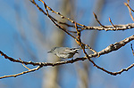 California Gnatcatcher Female Polioptila californica Southern California