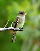 Adult willow flycatcher