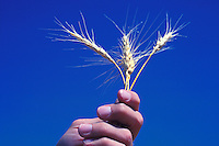 hand holds wheat