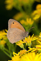 Großes Ochsenauge, Grosses Ochsenauge, Blütenbesuch auf Jakobs-Greiskraut, Nektarsuche, Bestäubung, Maniola jurtina, Epinephele jurtina, meadow brown