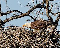 Bald eagle feeds two eaglets in the nest near Lllano, TX