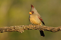 Adult female Pyrrhuloxia (Cardinalis sinuatus).  Hidalgo County, Texas. March.