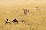 Lioness Approaching Wildebeest